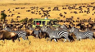 Zebra and Wildebeest Great Migration Serengeti National Park