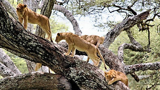 Tree Lions in Lake Manyara National Park