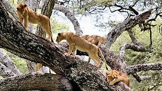 Tree lions Lake Manyara