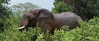 Elephant Tarangire National Park