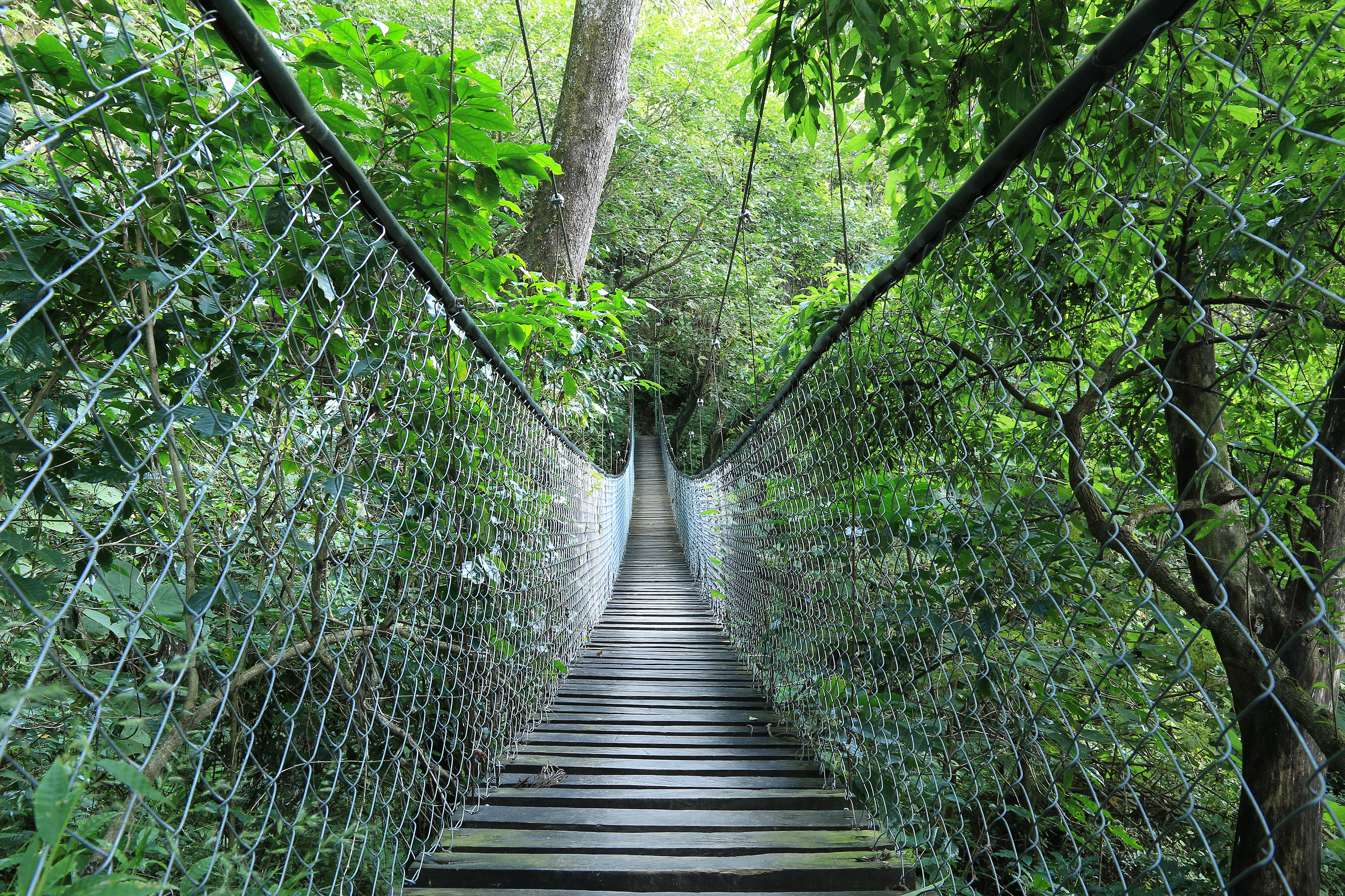 Hanging Bridge in Jungle