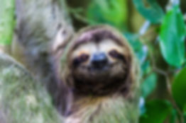 Costa Rica Sloth small.jpeg