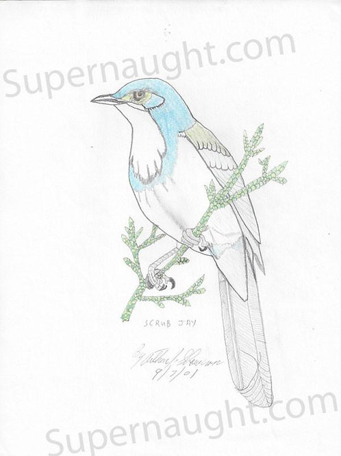 Arthur Shawcross Blue Jay Signed Drawing