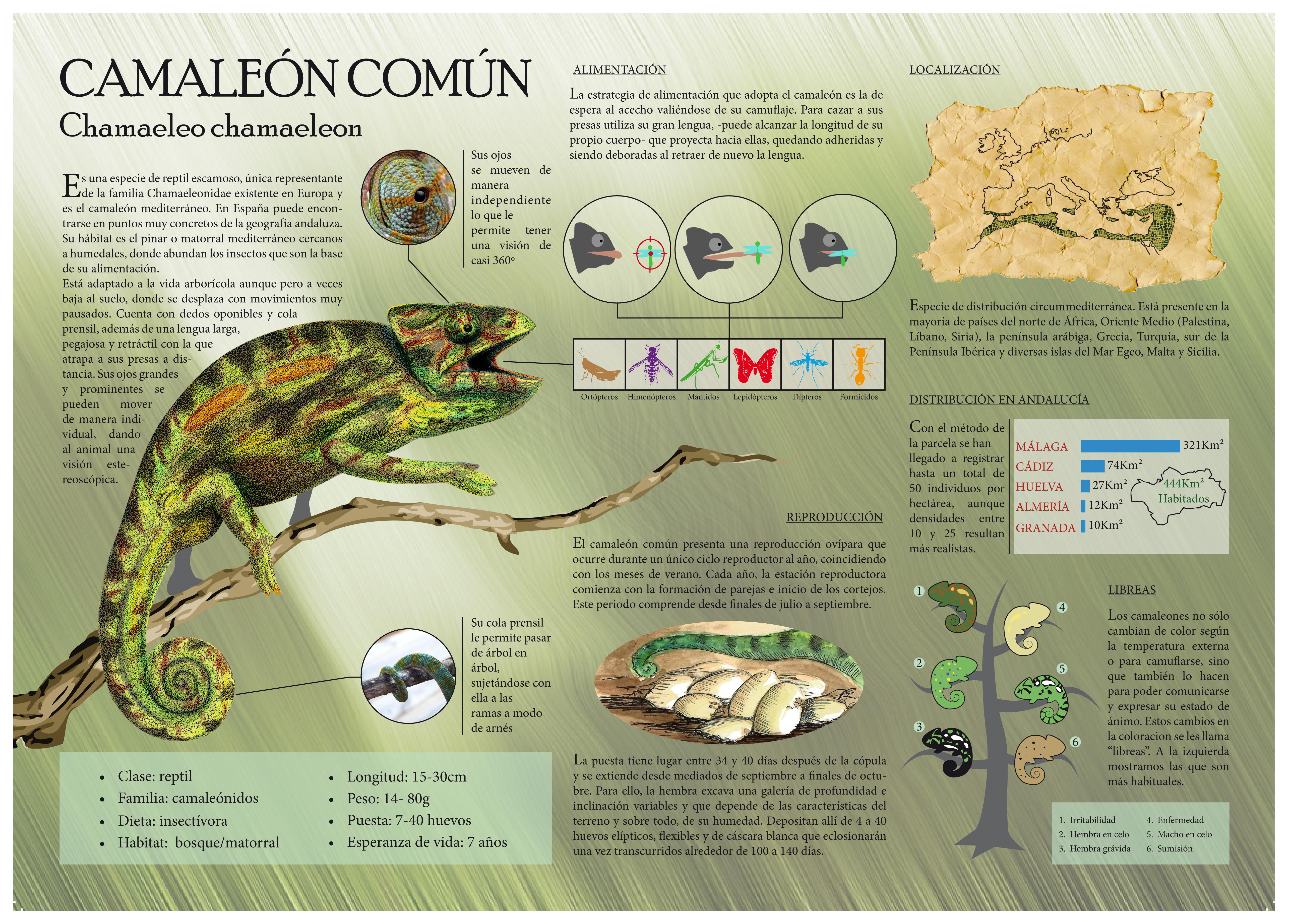 Infographics - Chameleon
