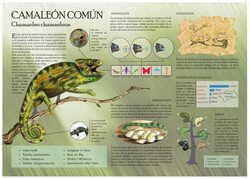Infografía - Camaleón