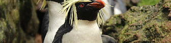 Northern Rockhopper penguins returning to Gough
