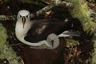An Atlantic yellow-nosed albatross quickly outgrowing its nest