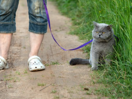 De paseo con mi gato. ¿Cómo y cuándo hacerlo?