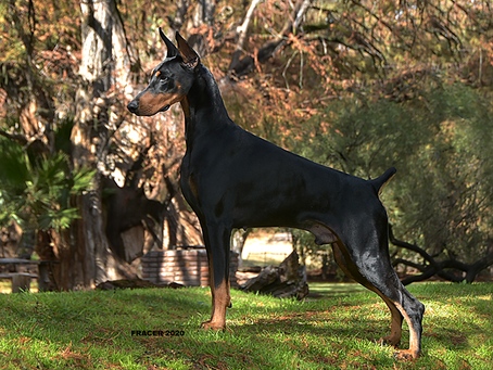 La incomparable estampa y elegancia del Dobermann