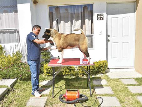 Arreglo básico de tu Akita Americano, previo a una exposición canina.