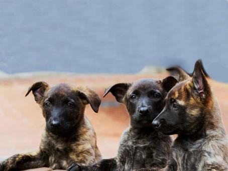 ¿Cómo criar un cachorro Pastor Holandés?