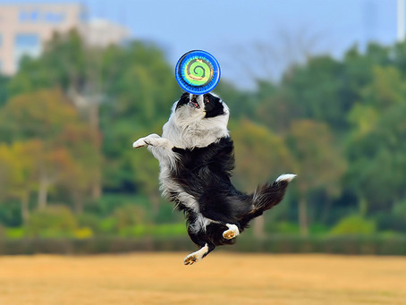 ¡Haz que tu perro sea un campeón del Disc-Dog!
