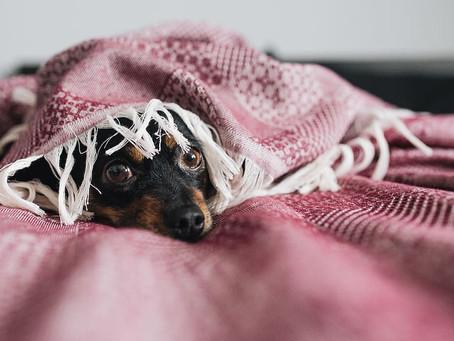El frío compromete a tu perro a esta contagiosa enfermedad