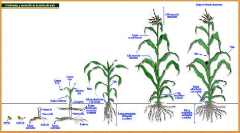 Etapas de crecimiento del maiz