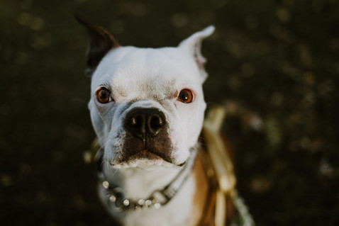 The Toronto Terrier - Types of Pet Photography Sessions