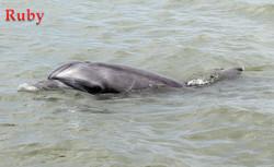 Dolphins in POsorja