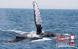 Humpback whale in Ayangue