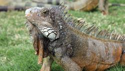 Guayaquil, Iguana Parque  Seminario o Parque de las Iguanas