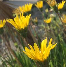 tijuana-flor-flowers.jpg