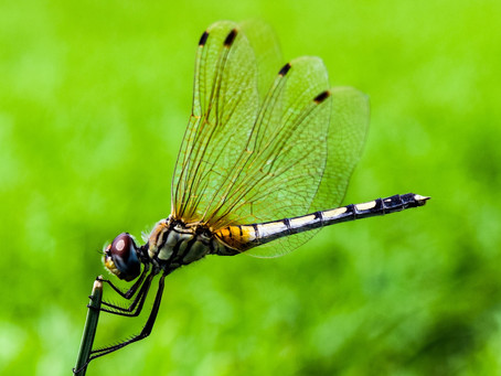 Dragonflies Migrate Along With Monarchs?