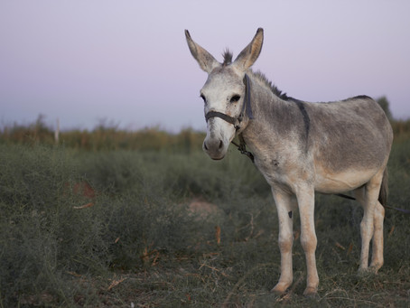 Introducing a New And Stronger Donkey