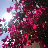 tijuana-flores-flowers-bougainvillea.jpg