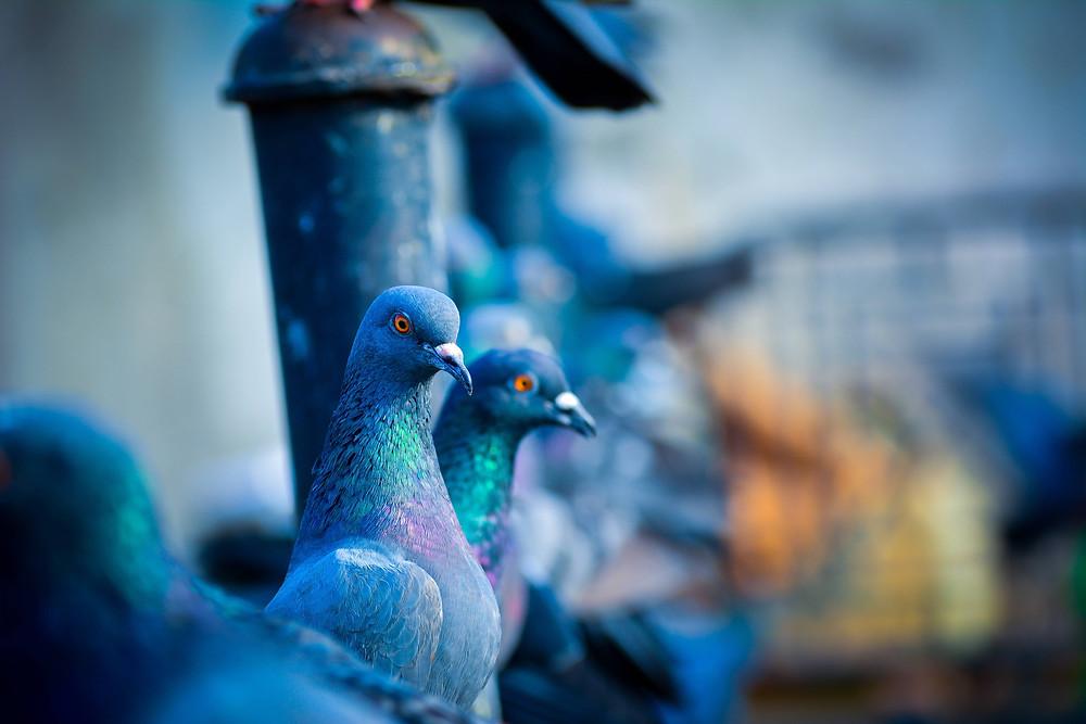 photo de colombes, une au premier plan, les deux autres au deuxième