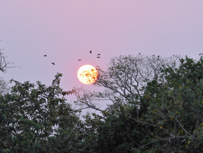 Turquoise-fronted parrots coming into roost in Paraguay
