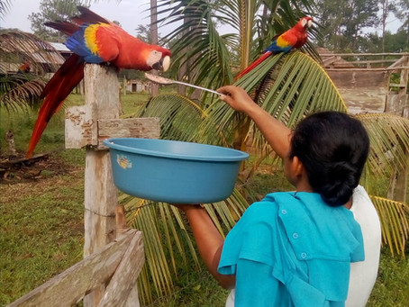 Scarlet Macaws Find Refuge After Two Hurricanes