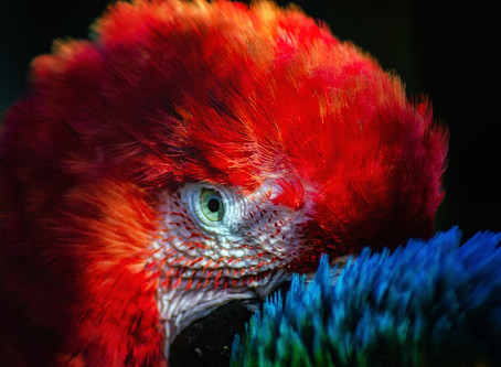 Vision from a Blind Scarlet Macaw