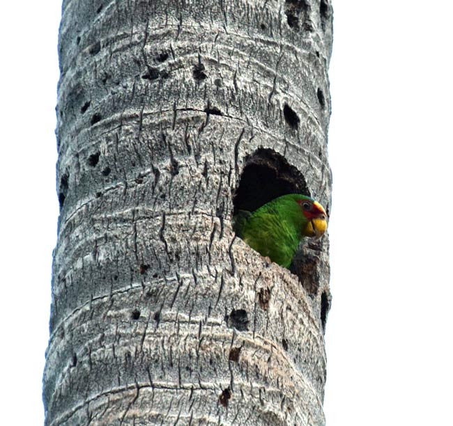White-fronted amazon nesting in palm tree in El Salvador