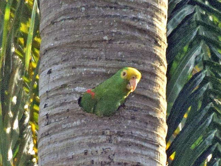 Brave Conservationist Saves Her Wild Parrot Nest in Guatemala