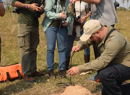 Termites and the Endangered Yellow-faced Parrots of Paraguay