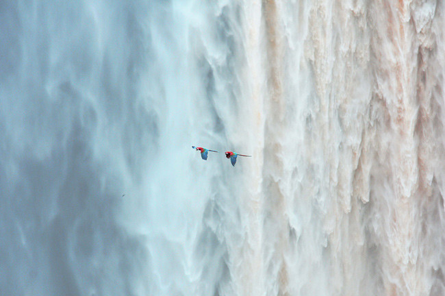 Kaieteur Falls with Red and Green Macaws