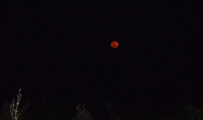 Orange moon over orange-winged amazons in Paraguay