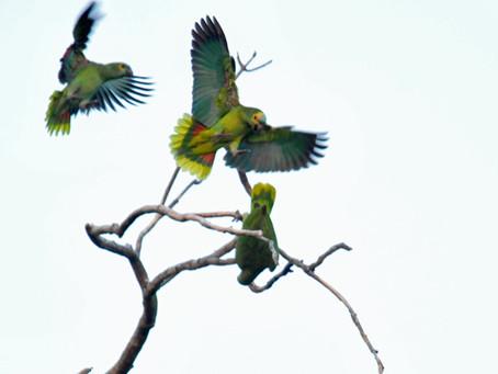 Parrots Over Paraguay