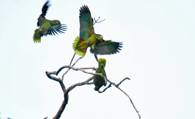 Turquoise-fronted parrots playing roost site Paraguay