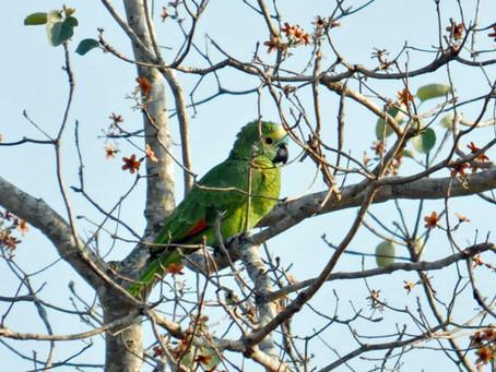 Poached Parrots Leaving Paraguay