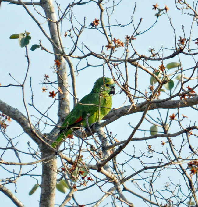 Nesting Turquoise-fronted Amazon in Paraguay
