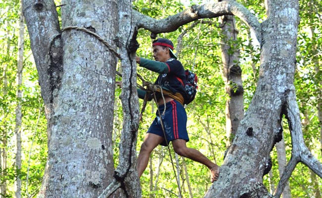 Climbing mangrove trees looking for parrot nests