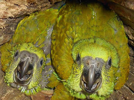 Parrot Conservation Grows in Islands of Hope