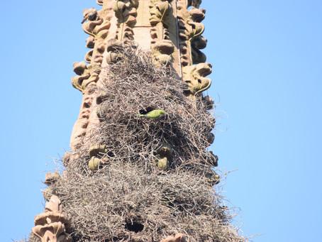 Parrots Grow in Brooklyn