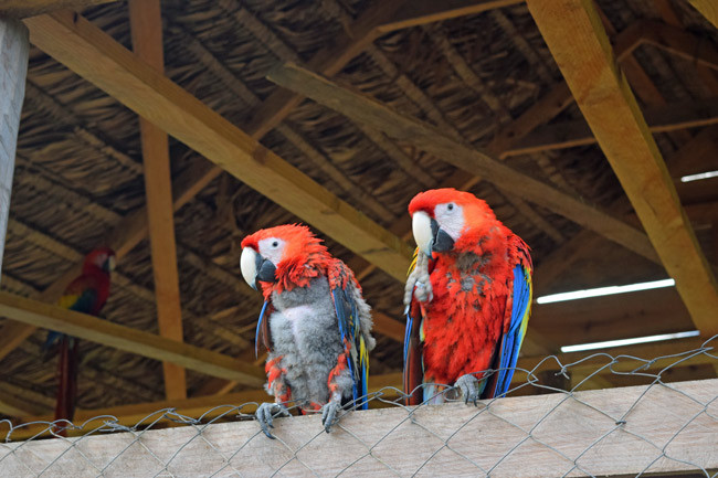 plucked scarlet macaws are Rescue and Liberation Center, Honduras