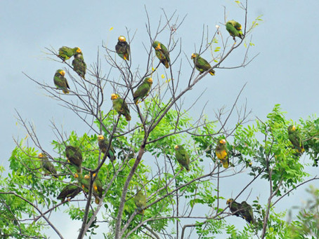 Endangered Yellow-Faced Parrots in Paraguay
