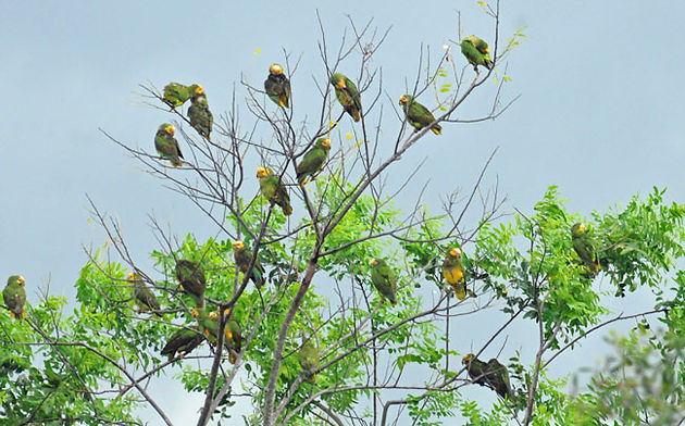 Yellow-faced parrots also trying to dry out