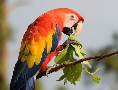 Macaw eating leaves 2019 cropped.jpg