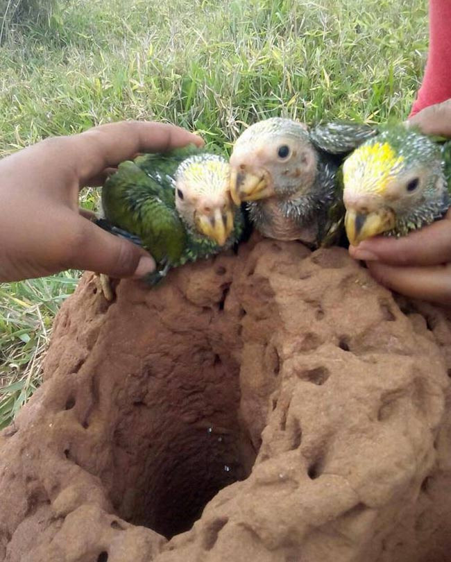 Yellow-faced parrot chicks
