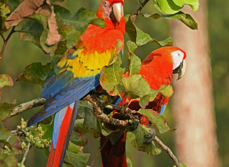 A River Separates Hope - Macaw Conservation in Honduras and Nicaragua
