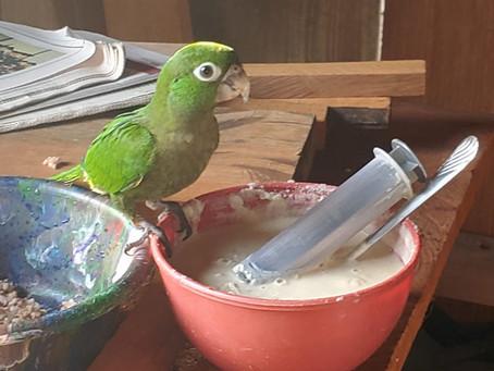 Protecting Parrots: Nesting Season 2020-2021