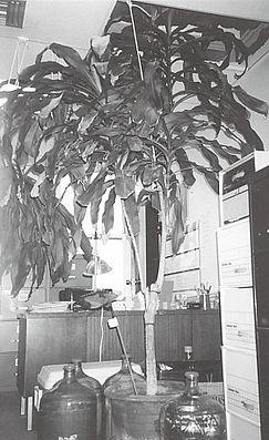 牛舌蘭於2002年的樣貌,高過天花板了